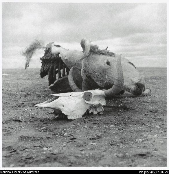 Nolan, Sidney, Sir, 1917-1992. Skull and dried carcass of a cow, Queensland, 1952 [picture]