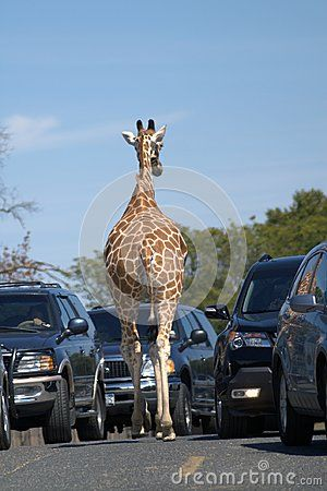 Rear view of a giraffe. The giraffe is walking along an asphalt road between two rows of cars. Blue sky. Brown skin. Dark cars. The gray road.
