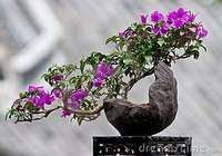 My Kitchen Garden: How to Make a Bonsai Bougainvillea
