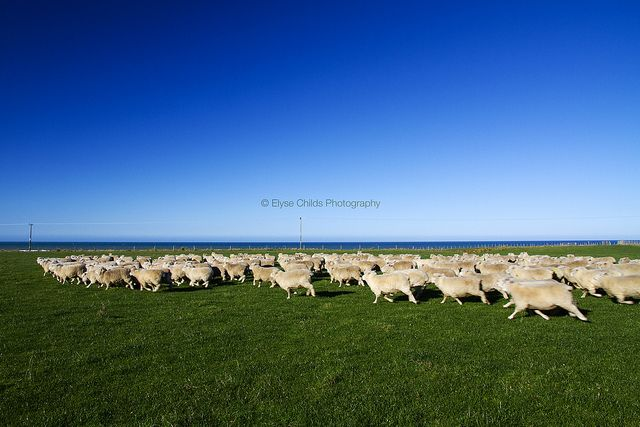 Sheep at Glenburn Station | © Elyse Childs Photography