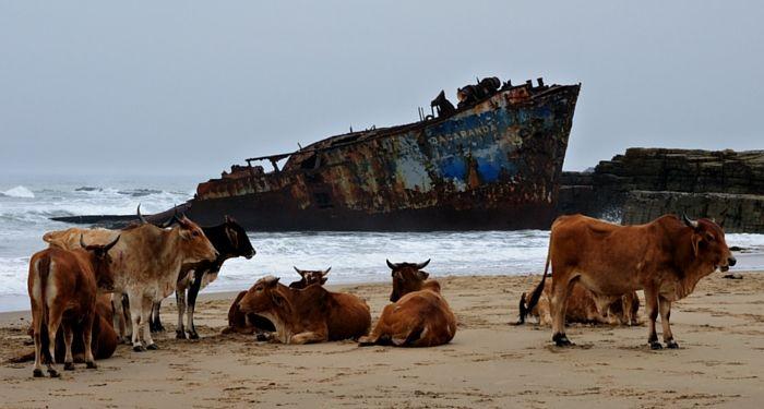 Jacaranda-skeepswrak en koeie op die strand. Die blog gee jou meer inligting oor hoe jy lekke kan reis deur die Oos-Kaap.