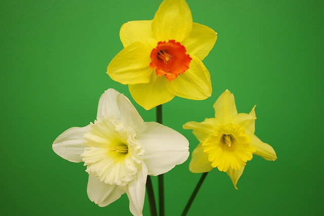 Love all the different colors, shapes and styles of daffodils.