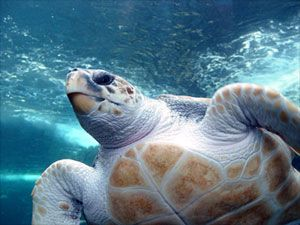 SPECIES HIGHLIGHT: Loggerhead turtles are found all over the world in tropical, subtropical and temperate waters--from Newfoundland to Argentina in the Atlantic Ocean and from Alaska to Chile in the Pacific Ocean. http://www.rainforest-alliance.org/kids/species-profiles/loggerhead-turtle