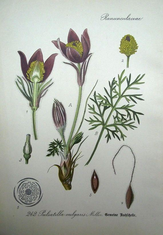 1905  BUTTERCUP Pulsatilla vulgaris Kuhschelle Blume Pflanze