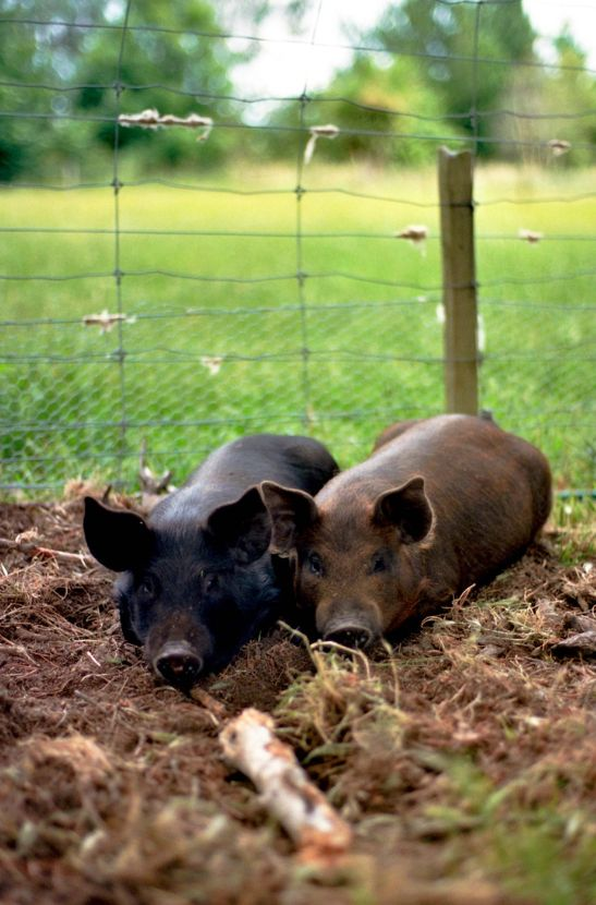 Country pigs.