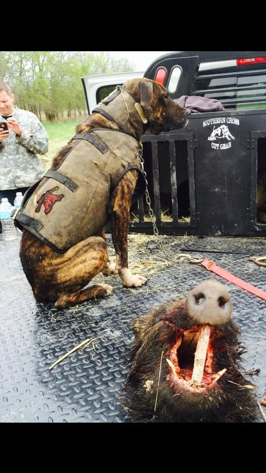 Hog Dog Gear in Action Hog Hunting with Dogs in Texas www.SouthernCrossCutGear.com