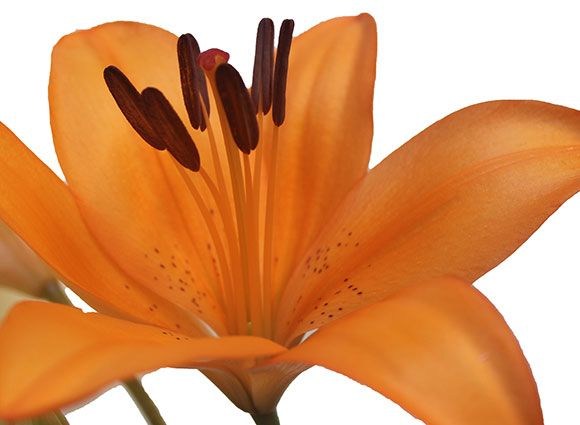 Liliesinatube offers beautiful lilies flowers for delivery in Australia at affordable prices.