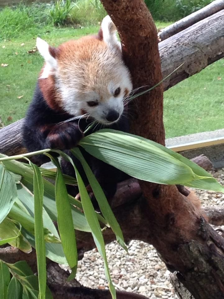 A very sweet photo of our adorable red panda from Simon 'Jingles' Bird