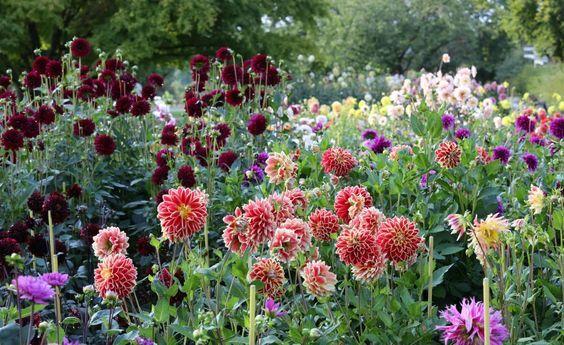 731 besten garten bilder auf pinterest flora garten for Dahlien pflanzen anleitung