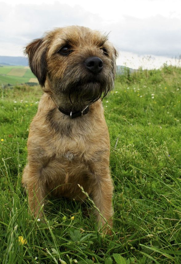 Harvey, our Border Terrier, waits for the walk to resume.