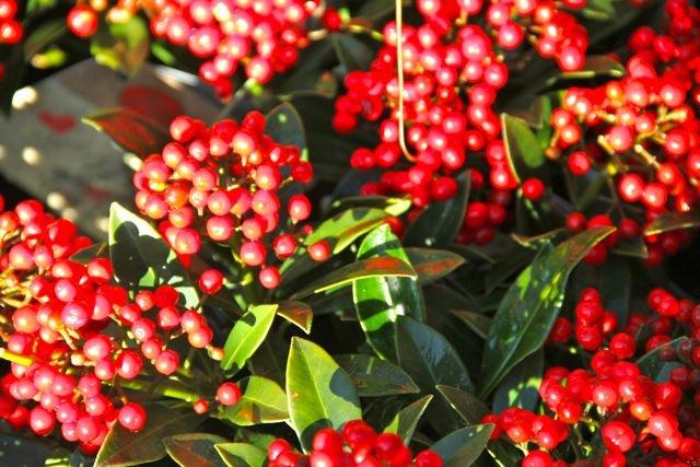 Juicy red berries....