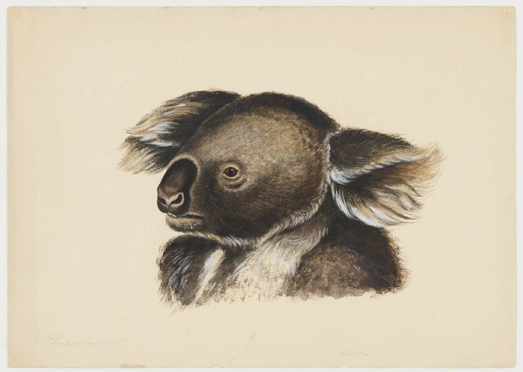 'Phascolarctos or native bear', James Stuart's depiction of a koala, circa 1830s. From his album, Natural history drawings of marsupials, reptiles and rodents, ca. 1831-1841, Mitchell Library, State Library of New South Wales: http://www.acmssearch.sl.nsw.gov.au/search/itemDetailPaged.cgi?itemID=404820