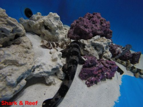 White Spotted Bamboo Cat Shark for Sale at Shark and Reef