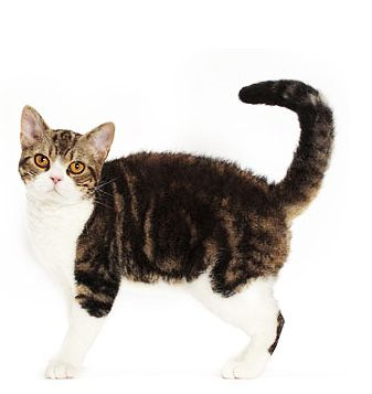 32 best American Wirehair Cat images on Pinterest | American ...