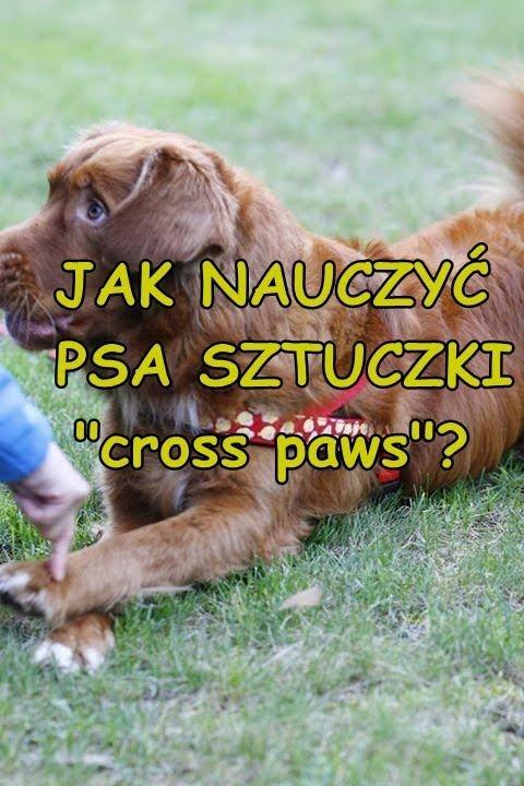 Jak nauczyć psa sztuczki cross paws?