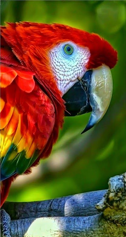Colorful birds - The tropical Macaw parrot.