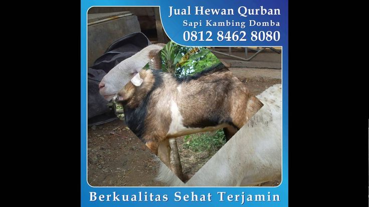 0812 8462 8080 (Tsel), Jual Kambing Qurban di Mampang Prapatan Bangka Pancoran Jakarta