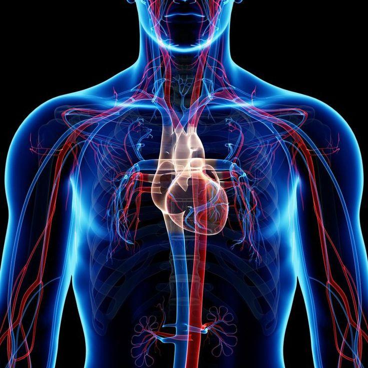 Cómo es el sistema circulatorio