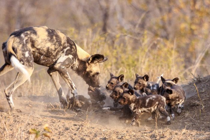 Such a good mother to her pups!