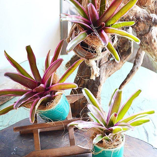 . ネオゲレリアも仲間入りしてます 着生植物で水やりが少なくていいので、ハンギングで楽しむのもおすすめです . #ネオゲレリア #ファイヤーボール #バリエガタ #パイナップル科 #着生植物 #植物 #plants #Kitowa #樹と環 #名古屋 #千種