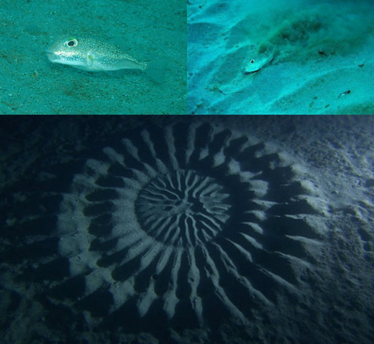 Japanese scuba diver and photographer Yoji Ookata, spotted these beautiful and puzzling patterns in the sand, nearly six feet in diameter and 80 feet below sea level, during a dive near Amami Oshima at the southern tip of the country. The artist is a small puffer fish only a few inches in length that swims tirelessly through the day and night to create these vast organic sculptures using the gesture of a single fin.Apparently the female fish are attracted to the hills and valleys within the…