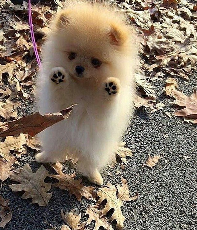 Full grown pomeranians