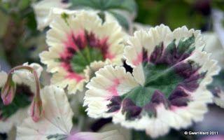 """""""Silver Magic"""" - Coloured leaf zonal pelargonium"""