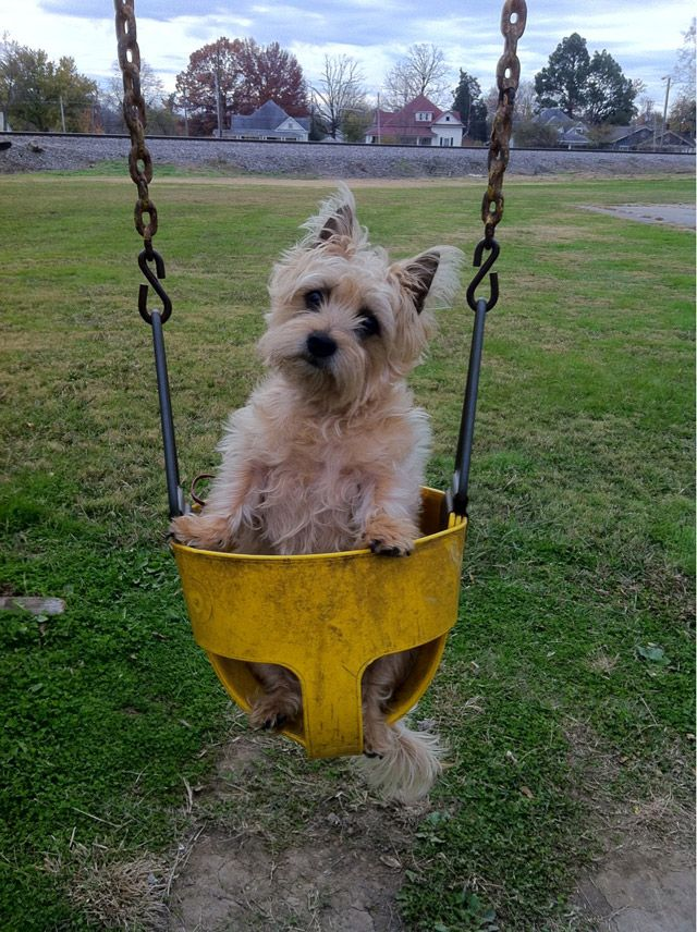 Amazing Cairn Terrier Ball Adorable Dog - e6623675d9e29c720d37df2f6db6e097--cairn-terrier-puppies-funny-dogs  Photograph_389057  .jpg