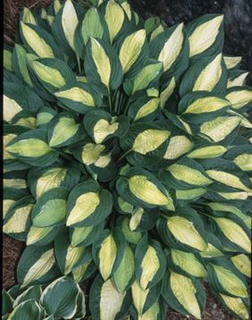 "Hosta 'Gypsy Rose'  This cute plant was discovered as a mutation of the famed Hosta 'Striptease'. From our observations, Hosta 'Gypsy Rose' stays slightly smaller, making a 30"" wide clump, but most importantly, the center pattern of the leaf is much brighter yellow than in Hosta 'Striptease', which is more light green."