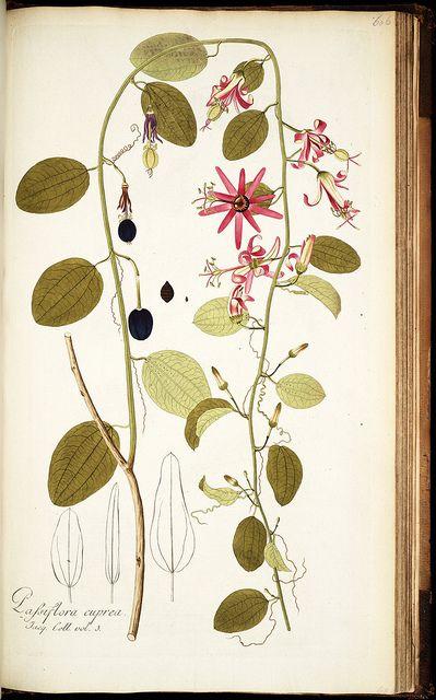Passiflora cuprea - 18th century botanical by Nikolaus Joseph (van) Jacquin #art #illustration #botanical
