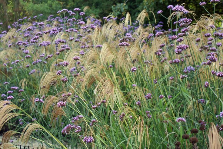 Verbena bonariensis and miscanthus nepalensis google for Planting schemes with grasses