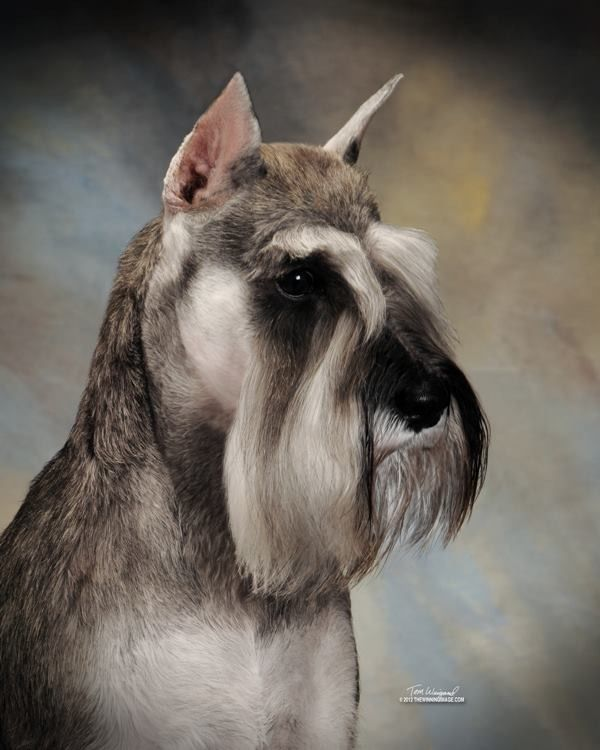 301 best Miniature Schnauzer Pictures images on Pinterest