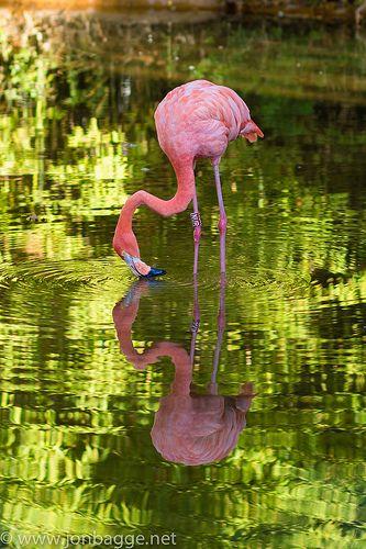 Barcelona Zoo - Flamingo   Flickr - Photo Sharing!