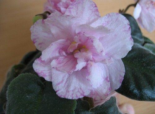 ЕК-Божественный Лотос (Коршунова Е.).   Огромные махровые нежно-розово- персиково-лимонные цветы с тёмно- розовым фэнтези. Выставочная розетка.