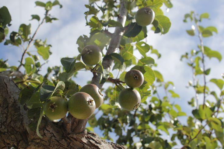 #apple www.terredicaanthea.it