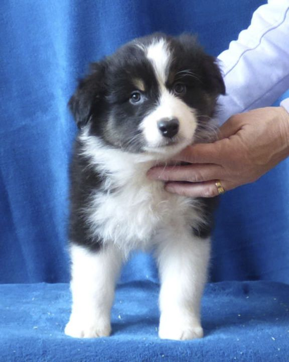 Seattle Times | Classifieds | Pets | Australian Shepherd Puppies