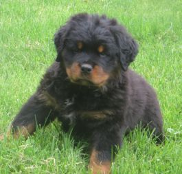 Puppies for Sale | Lancaster Puppies