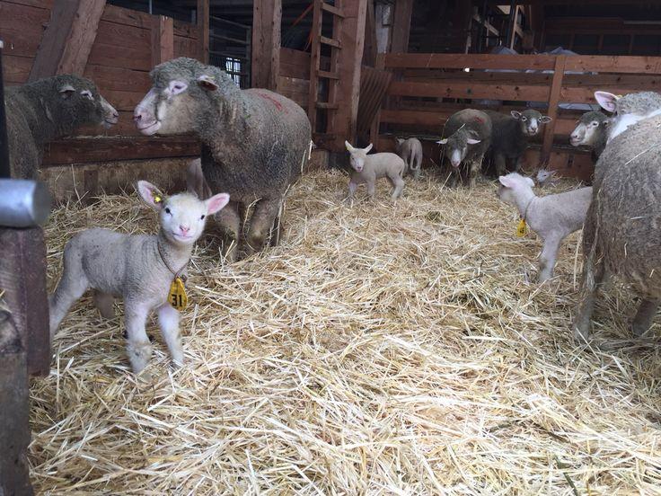 Lämmlein auf dem Biohof Oberfringeli Saison von Lammfleisch