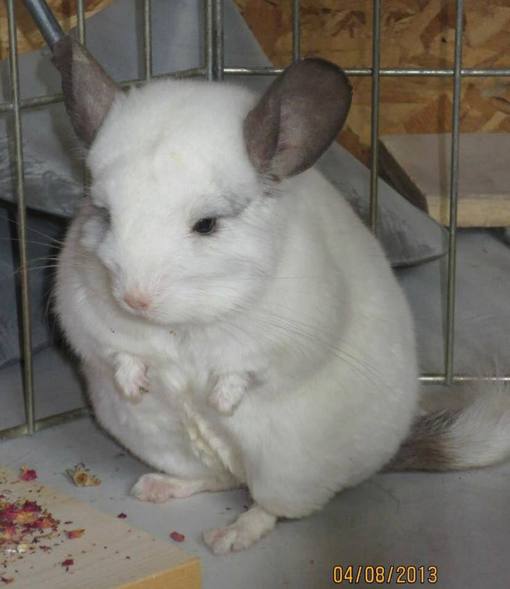 Can Chinchillas And Cats Be Friends