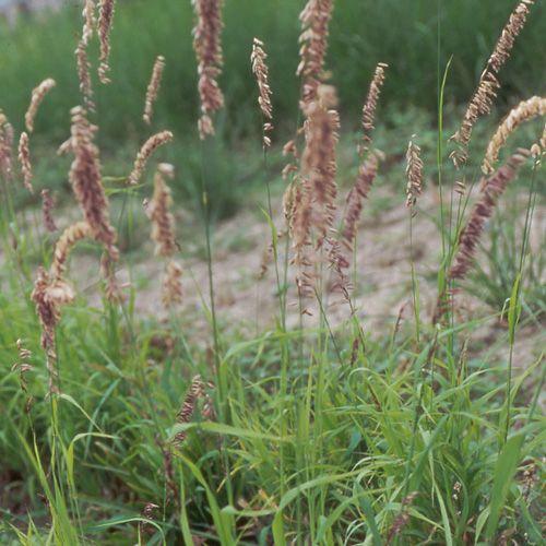Melica altissima atropurpurea m lique m lique g ante for Graminee geante