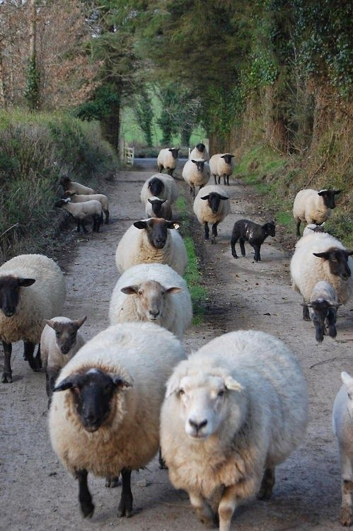 A gang of woolly wanderers  pinned by www.ukgardening-directory.co.uk