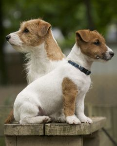 Jack russell terrier's