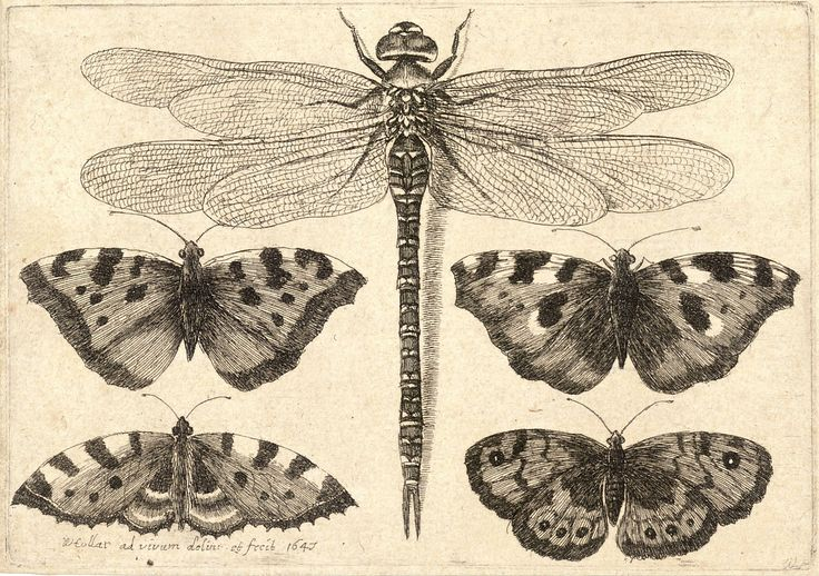 :: Wenceslas Hollar - Dragonfly and four butterflies ::
