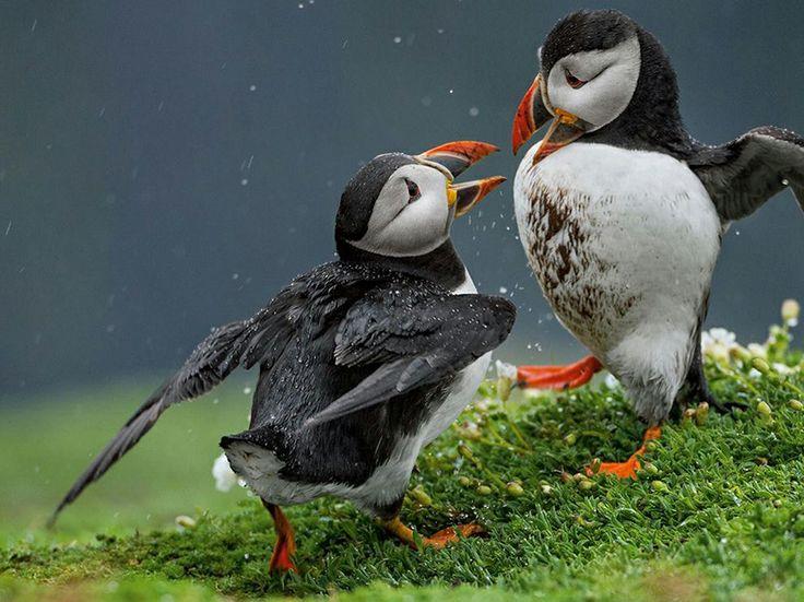 Pulcinelle di mare » Fotografia di Danny Green, National Geographic