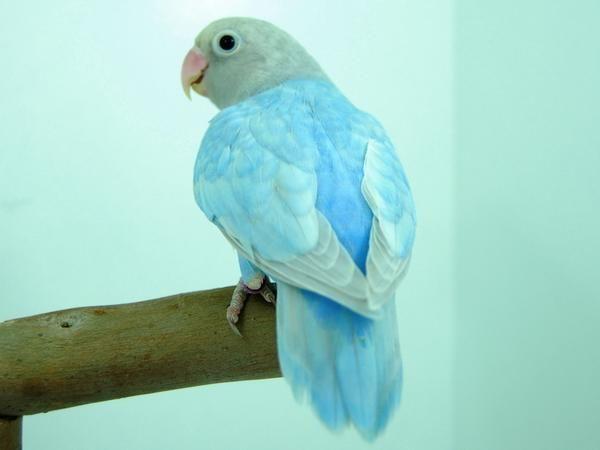 Lovebird Mutation