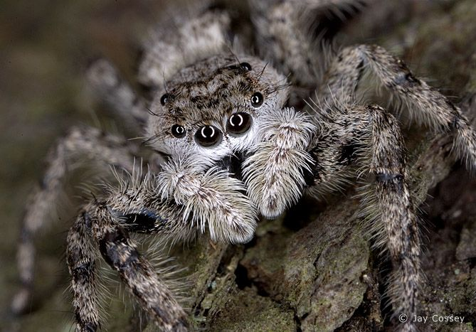 Spiders Face Spider Jumping Face Spiders And Spider