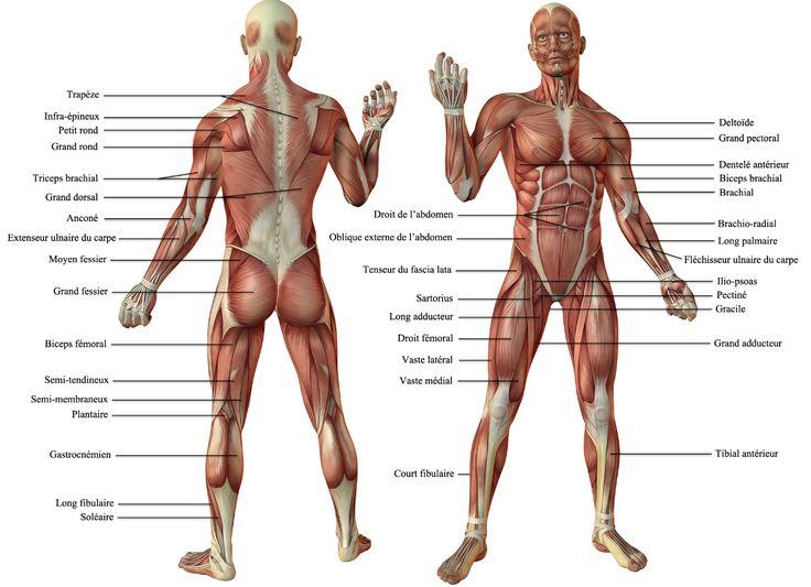 Anatomie des muscles du membre inférieur et supérieur Elle est volontairement simplifiée. Chaque muscle à une ou des fonctions particulières dont le but est le mouvement et la station...