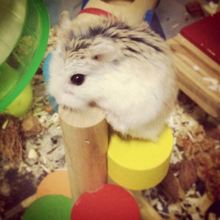 25 best ideas about hamster stuff on pinterest the hamster hamster breeds and hamster com - Hamster agent secret ...