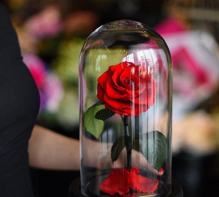 Terbaru 21 Wallpaper Whatsapp Bunga Mawar Bunga Mawar Di Beauty And The Beast Ternyata Benar Rosas Sekuntum Enchanted Rose Beauty And The Beast Real Beauty Enchanted rose wallpaper beauty and