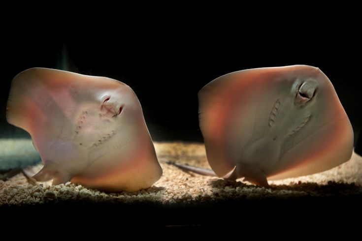 Blue-spotted Stingrays Smile for the Camera